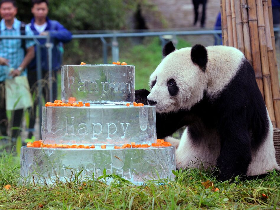 Pan Sniffs A Birthday Cake Made Of Ice For His 30th At The