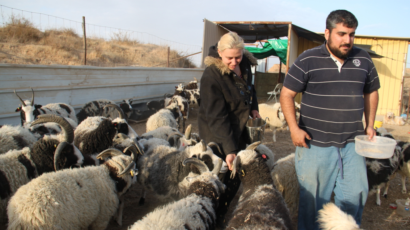 Are Jacob Sheep Biblical? Couple Shepherds Them From ...