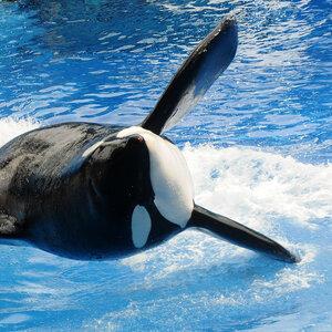 Tilikum, SeaWorld's Famed Orca And Subject Of 'Blackfish,' Dies
