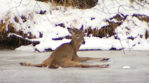 VIDEO: Conn. Deer Rescue Transfixes Hundreds Of Thousands Of People