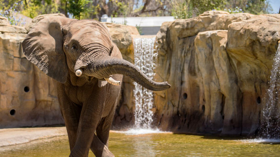 Musi, an African elephant, is one of Fresno Chaffee Zoo's five elephants enrolled in the Elephant Welfare Initiative. (Courtesy of the Fresno Chaffee Zoo)
