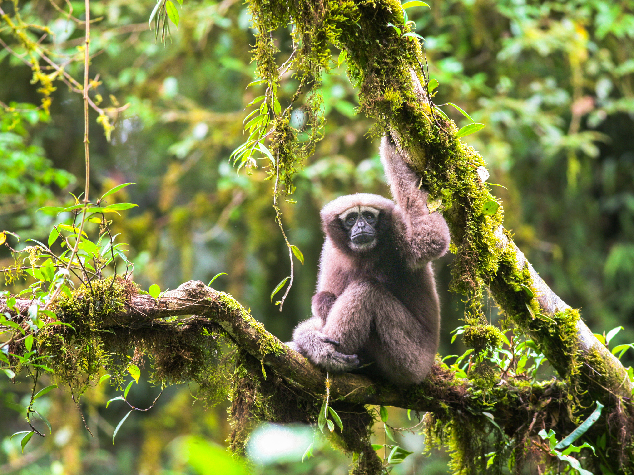 'Star Wars gibbon' unveiled as a new primate species