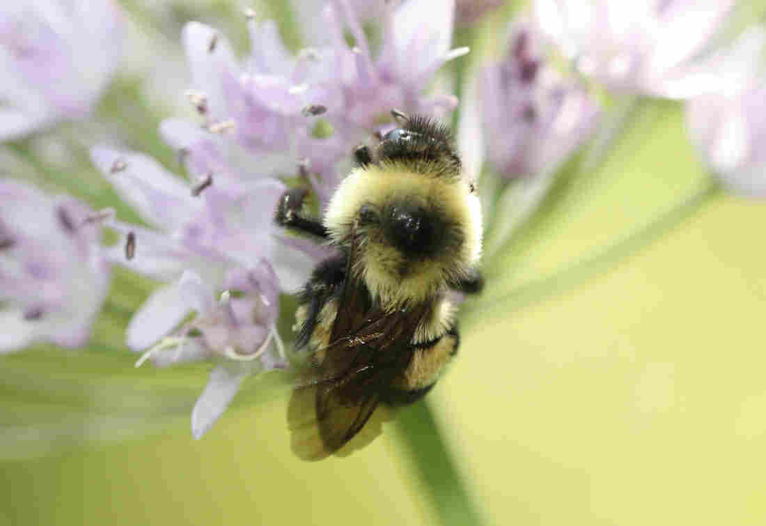 Rusty Patched Bumblebee is Declared Endangered