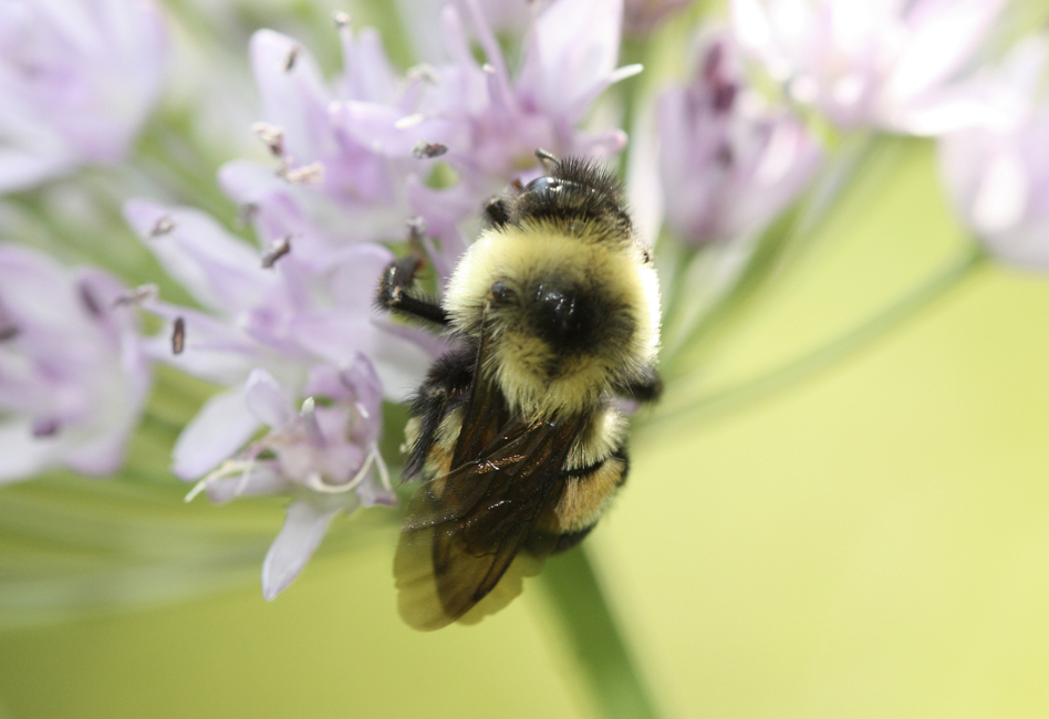 The U.S. has designated the rusty patched bumblebee an endangered species. (Sarina Jepsen/AP)