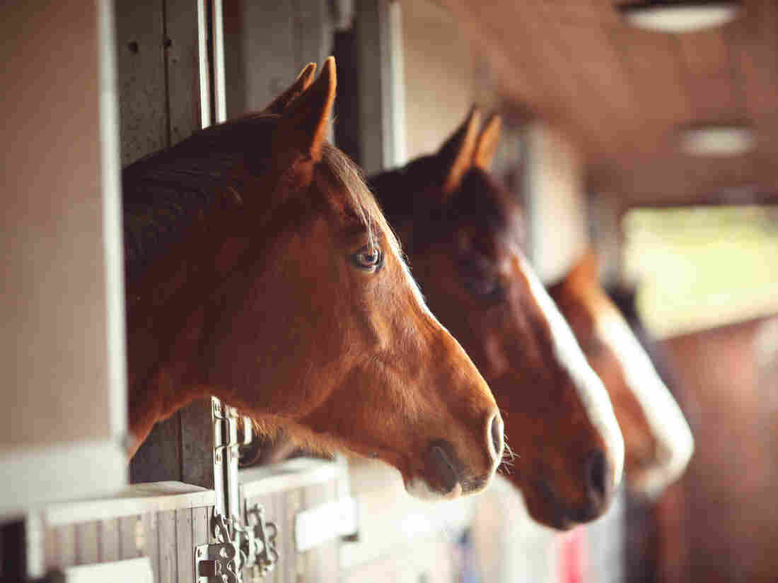A new study suggests horses have the cognition skills to signal a human caretaker when they know something he or she does not, says Barbara J. King.