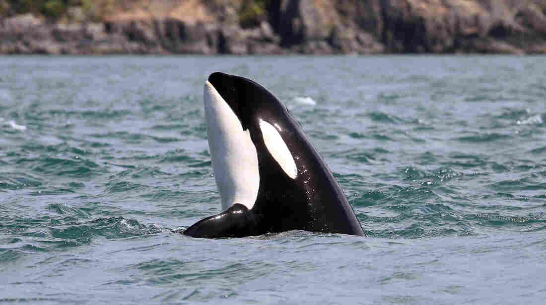 University of Exeter Research Unravels How Whales Hold The Key To Menopause