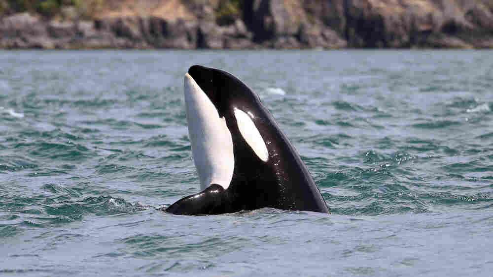 Menopause Mystery: Why Do Female Killer Whales Experience The Change Of Life?