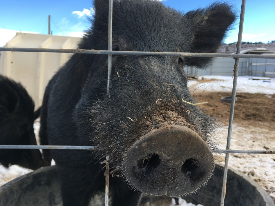 This wild hog from Hawaii was raised at the National Wildlife Research Center in Fort Collins, Colo. Feral pigs in the wild tend to eat anything containing a calorie — from rows of corn to sea turtle eggs, to baby deer and goats. (Rae Ellen Bichell/NPR)