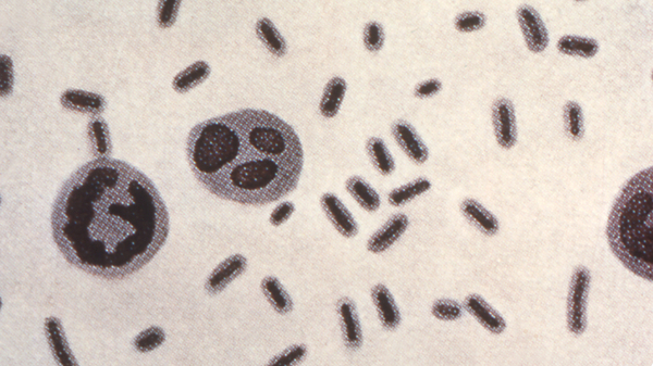 This illustration depicts Klebsiella pneumoniae bacteria, which can cause different types of infections, including pneumonia, bloodstream infections and meningitis.