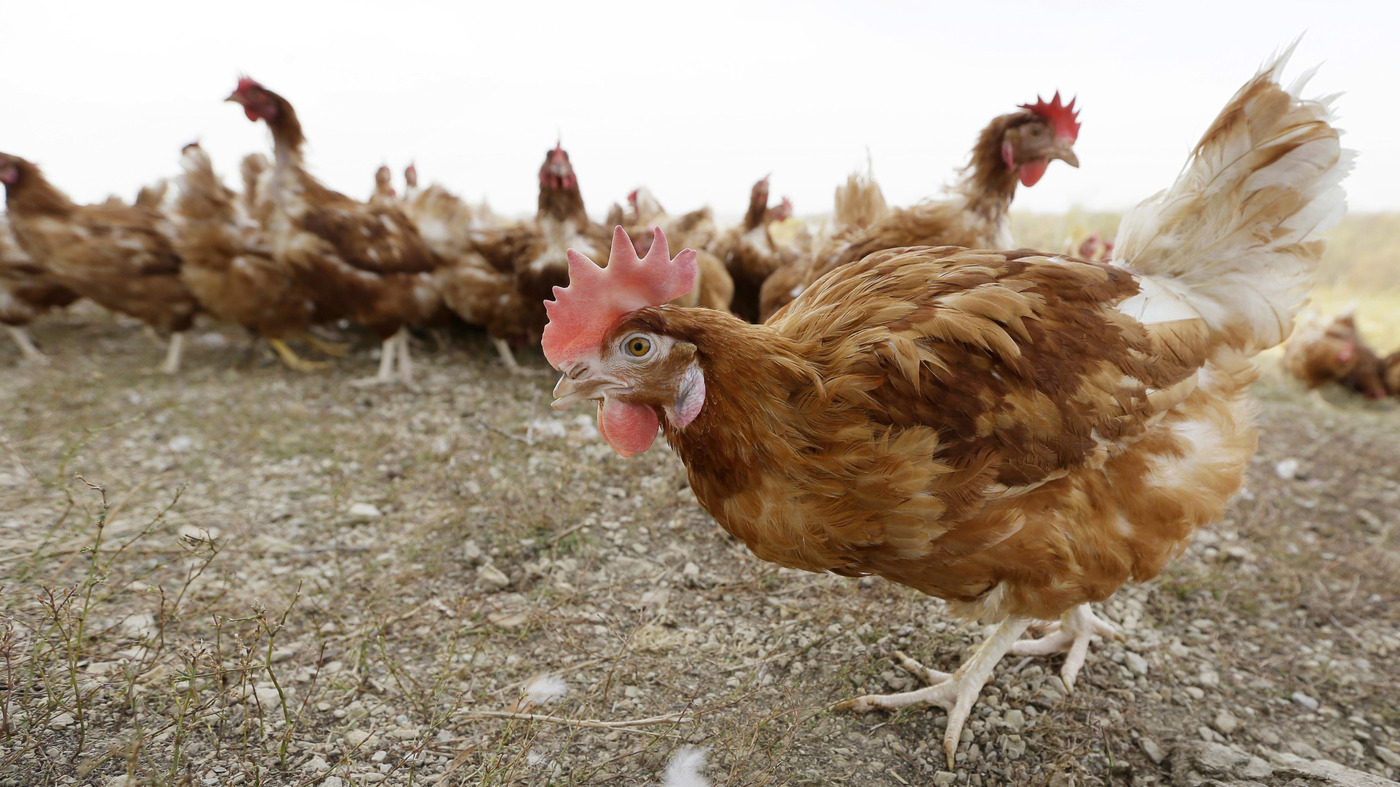 organic farming npr organic chickens get more room to roam