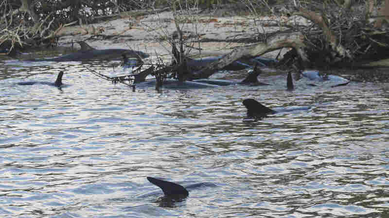 Dozens Of False Killer Whales Mysteriously Strand Themselves In Florida