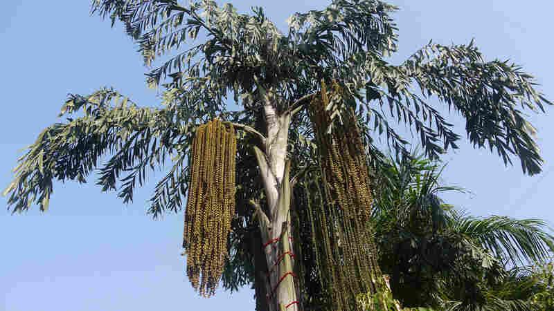 Sri Lanka's 'Kithul' Palm Syrup: An Ancient Sweetener In Need Of Saving