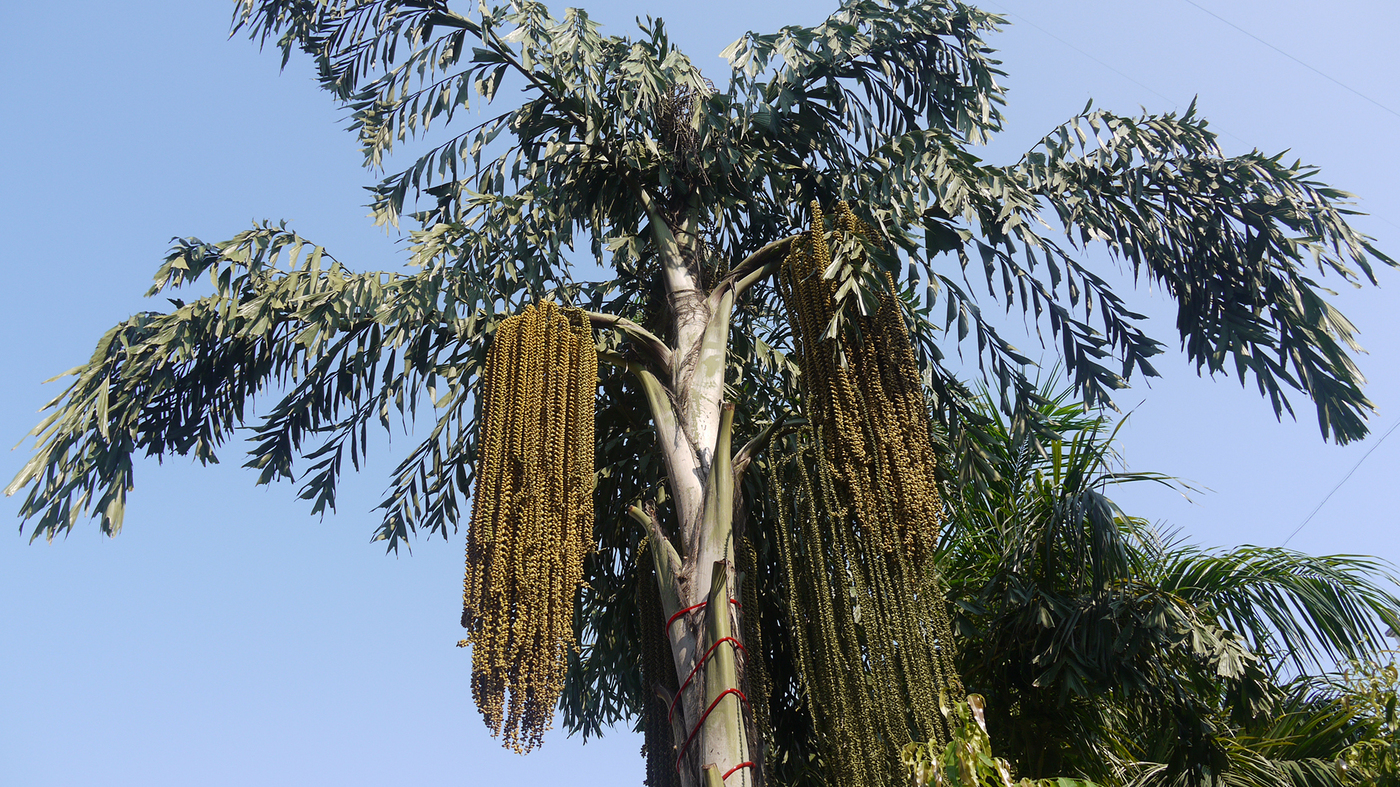 sri lanka s kithul palm syrup an ancient sweetener in