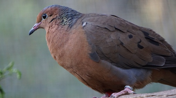 A Socorro dove perches at the Africam Safari Zoo in Puebla, Mexico. Scientists are planning to bring the dove species back to Socorro Island, the dove