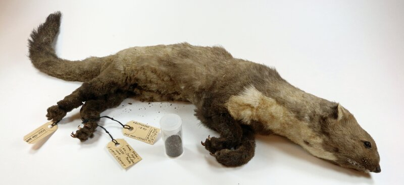 World S Most Destructive Stone Marten Goes On Display In The