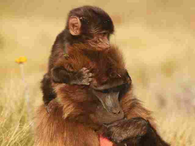 Researchers witnessed the births of 15 wild gelada monkeys residing in the grasslands of high-altitude Guassa, Ethiopia.