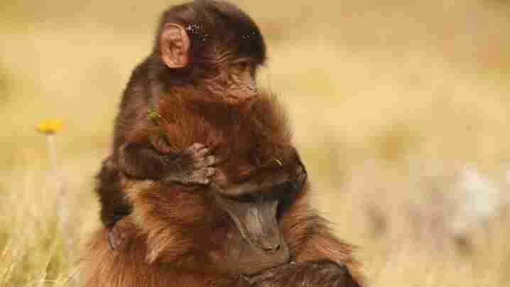 A New View Into The Primate Birthing Process
