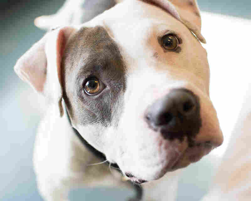 Captain Fantastic is one of the many adoptable dogs at Richmond's Animal Care And Control in Richmond, Va.