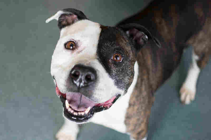 Pebbles is one of the many adoptable dogs at Richmond's Animal Care And Control in Richmond, Va.