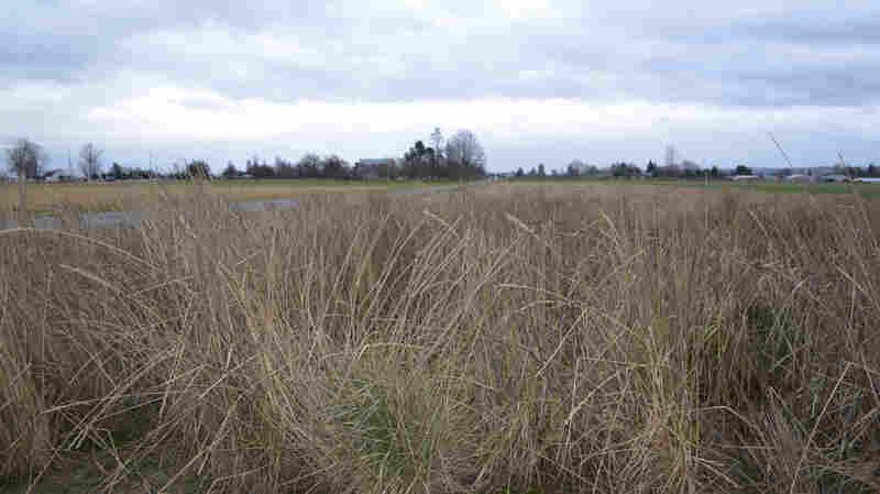 Don't Call It Wheat: An Environmentally Friendly Grain Takes Root