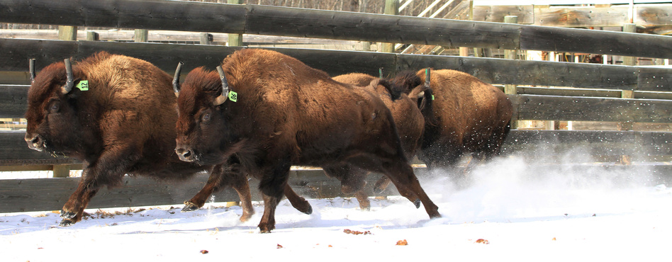 Wild bison destined for Banff National Park are prepared for loading and travel at Elk Island National Park's bison-handling facility in Alberta, Canada, on Jan. 31. (Johane Janelle/Parks Canada /Reuters)