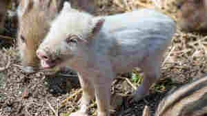 NPR News Nuggets: Terrorizing Pig, (Sort Of) Flying Pig & Wigs