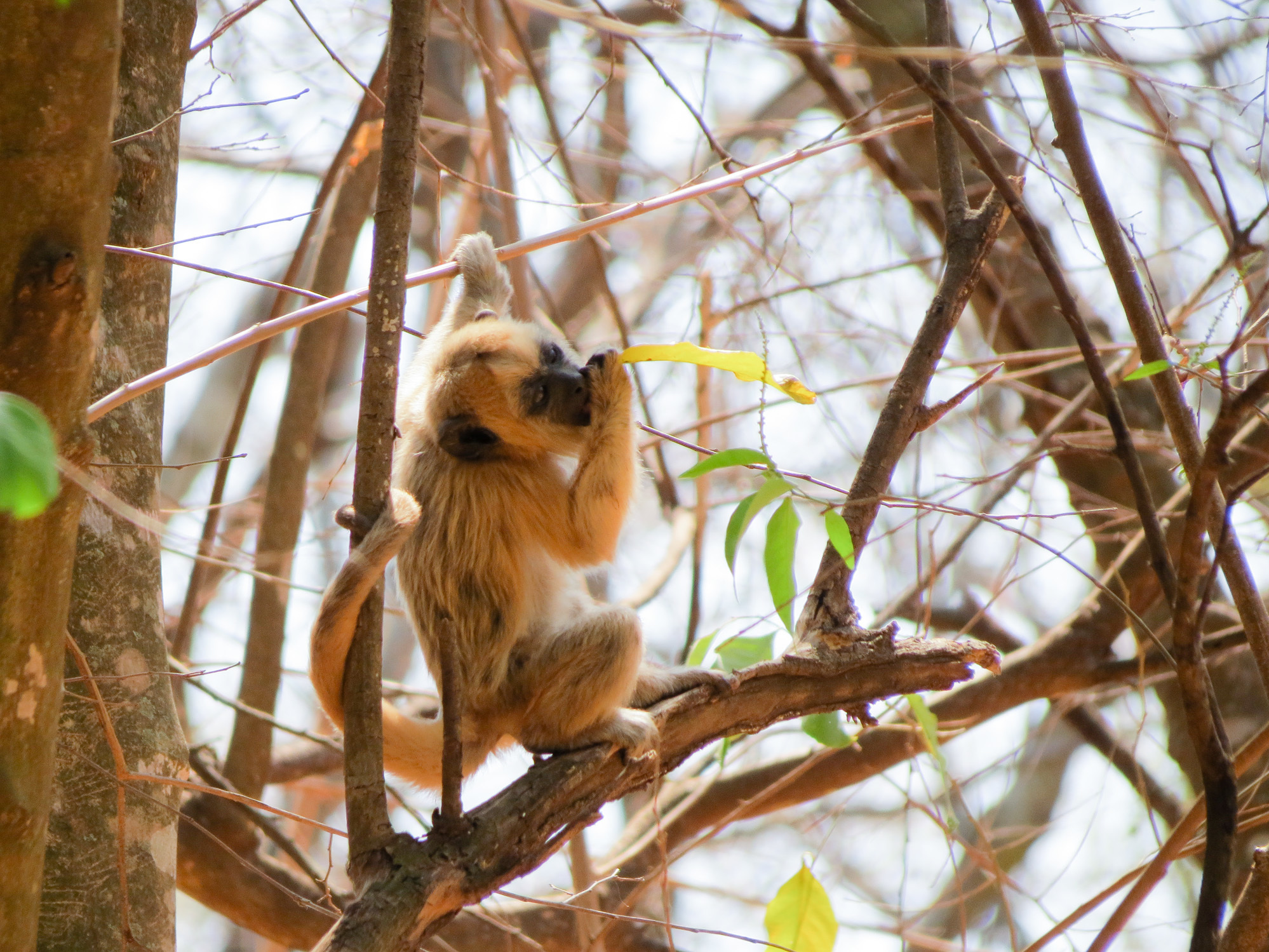 Brazil's Expanding Yellow Fever Outbreak Started With Monkeys