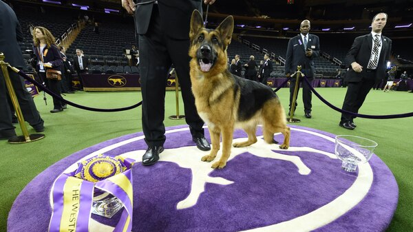 Rumor, a German shepherd, stands next to handler Kent Boyleshis after winning best in show Monday night at the Westminster Kennel Club 141st Annual Dog Show at Madison Square Garden in New York.