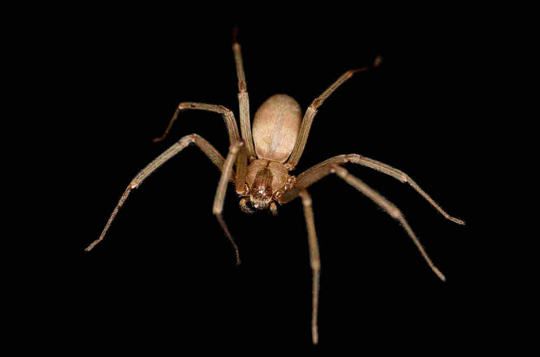 brown recluse spider bites are often misdiagnosed shots health