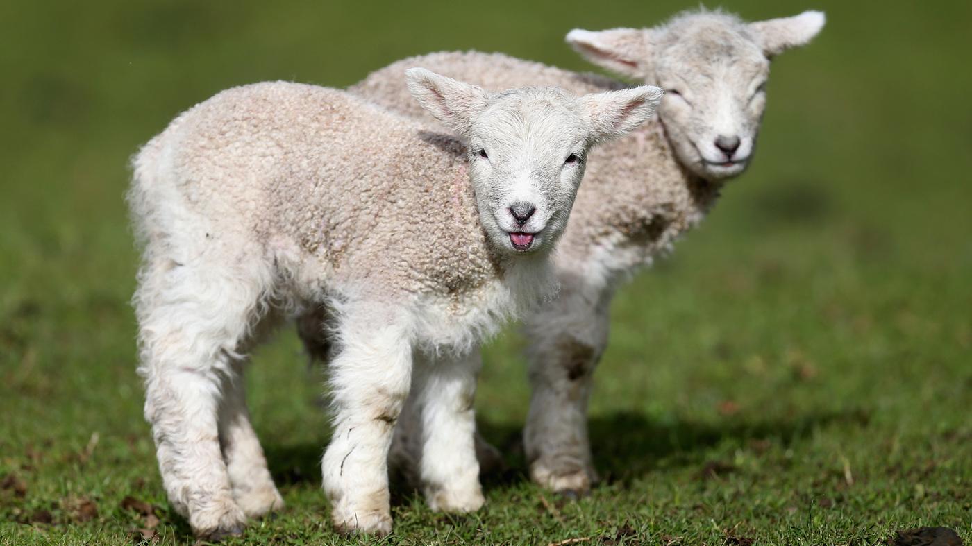 NPR News Nuggets: Sheep Shearing, Snuggies & Fried Chicken : NPR