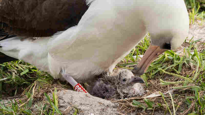 World's 'Oldest Known Wild Bird' Hatches Chick, Again!