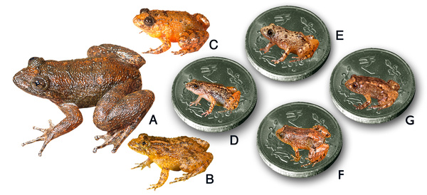 Seven new species discovered in India's Western Ghats. A. Radcliffe's night frog, B. Athirappilly night frog, C. Kadalar night frog, D. Sabarimala night frog, E. Vijayan's night frog, F. Manalar night frog, G. Robin Moore's night frog.