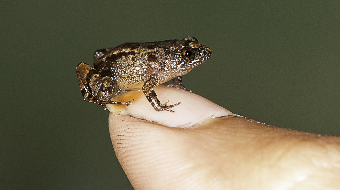 behold 4 new species of tiny frogs smaller than a fingernail