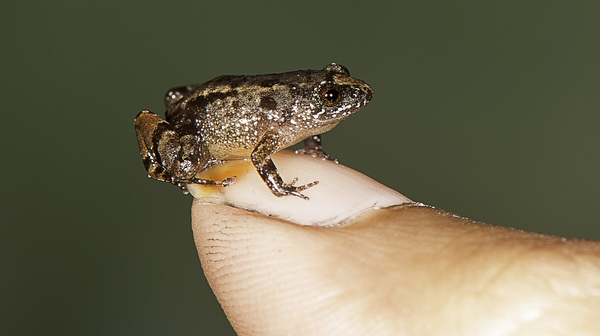 Vijayan's night frog (Nyctibatrachus pulivijayani), a 13.6 mm miniature-sized frog from the Agasthyamala hills in the Western Ghats in India, sits comfortably on a thumbnail. It is one of seven newly discovered frog species.