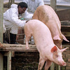 A Taste For Pork Helped A Deadly Virus Jump To Humans