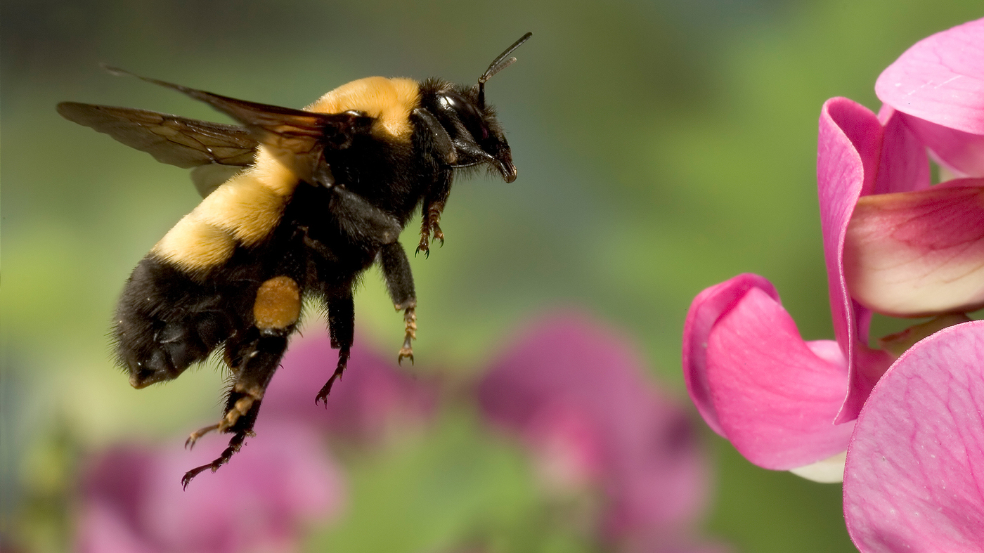 Could A Bumblebee Learn To Play Fetch? Probably : The Salt