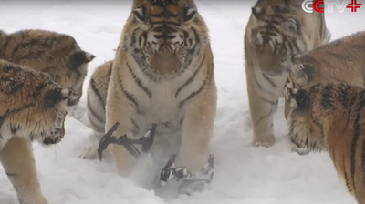 WATCH: In The War Between Tigers And Drone, Chalk One Up For Tigers