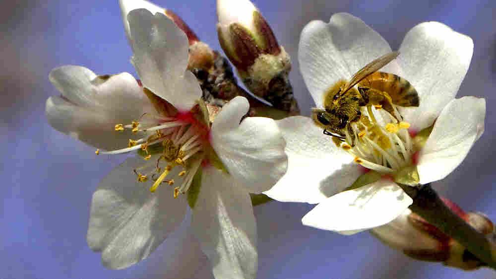 Episode 756: The Bees Go To California