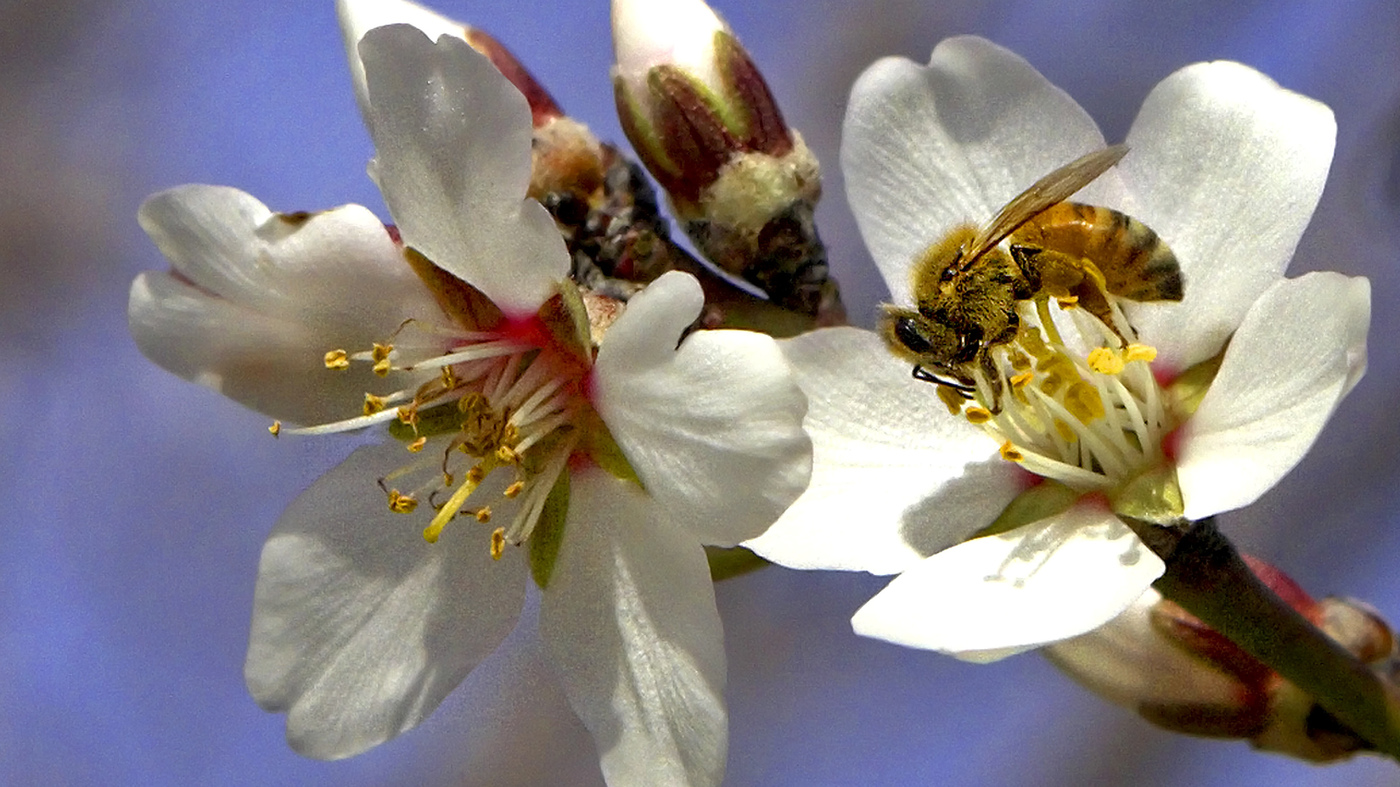 Episode 756 The Bees Go To California Planet Money Npr