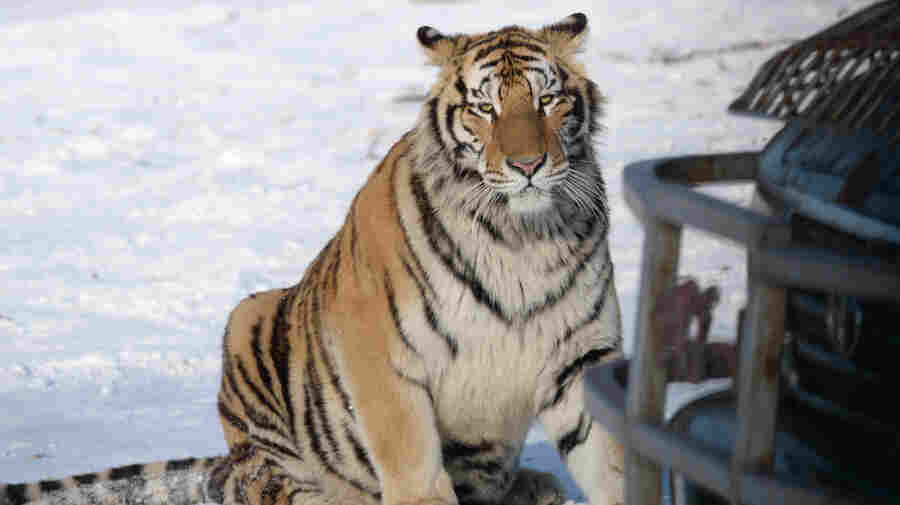 The Problem With That Video Of Tigers Squaring Off With A Drone