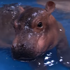 WATCH: After Health Scare, Fiona The Baby Hippo Goes For A Dip