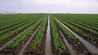 Lettuce crops are irrigated in Yuma, Ariz. In winter, Yuma typically supplies many of those bags of baby spinach and mixed greens Americans consume. It's But unusually damp conditions have forced growers to end the season earlier than usual this year.