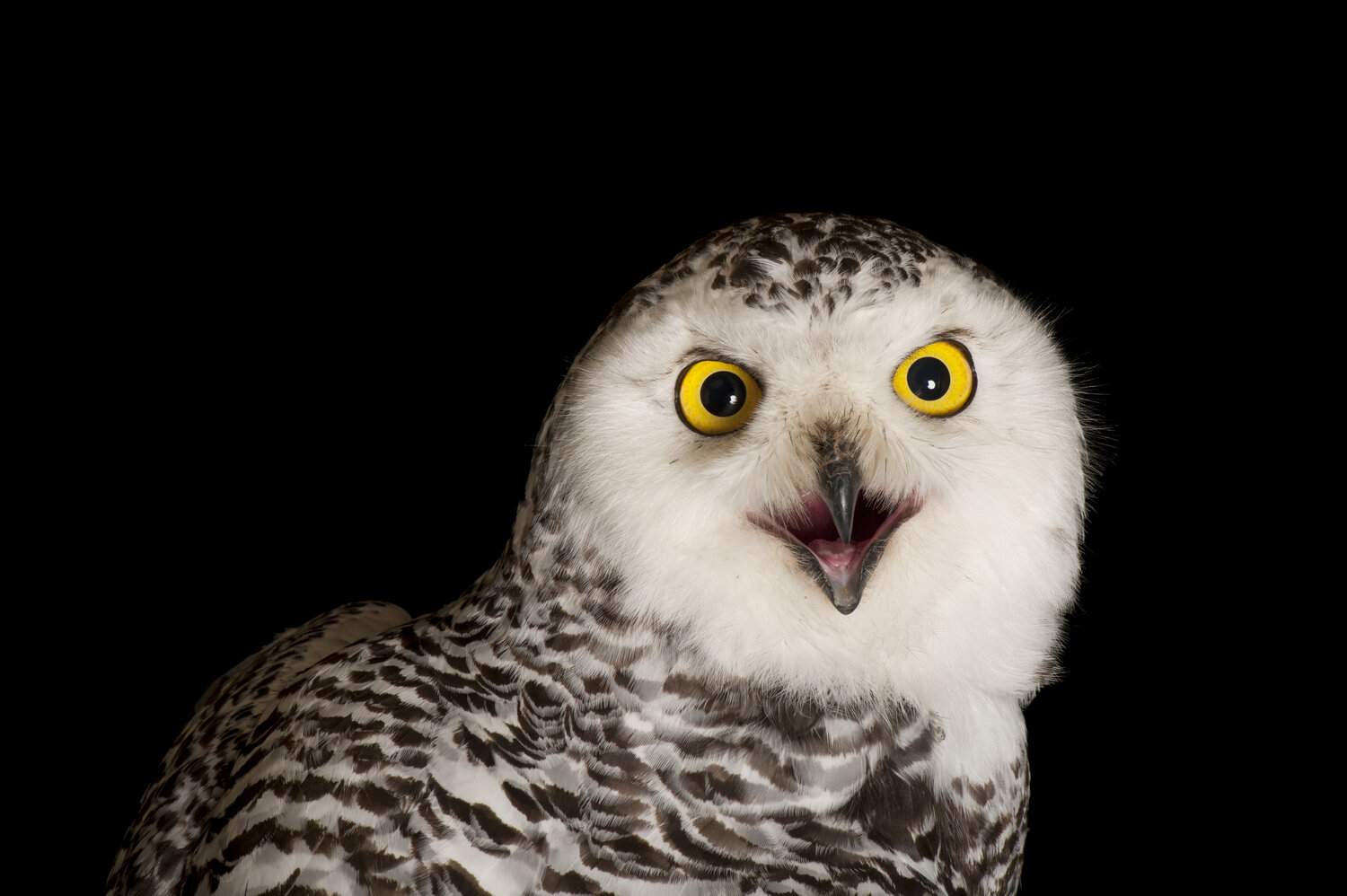"Sartore writes that this snowy owl was ""very feisty"" during its photo shoot."