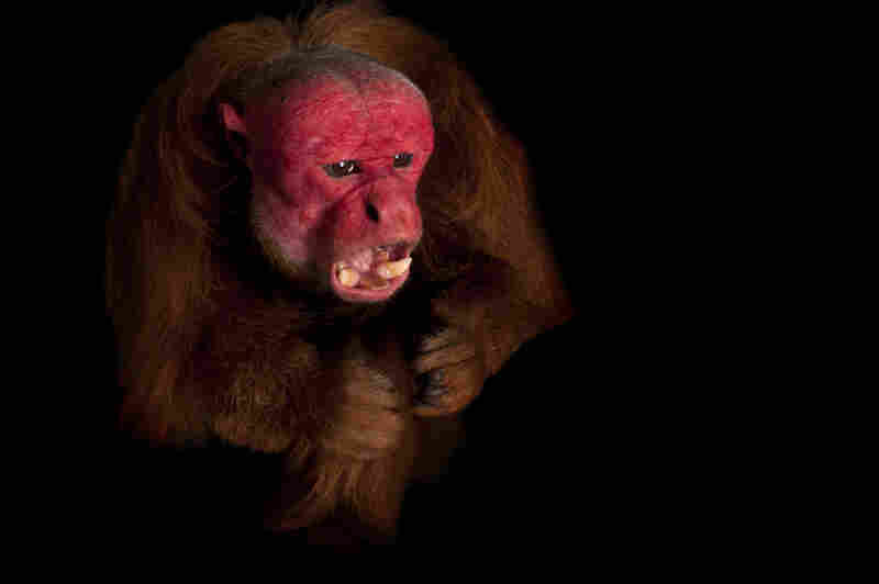 "This rare red uakari monkey was photographed at the Los Angeles Zoo. ""This fellow is one of the last males in captivity in this hemisphere,"" writes Sartore."