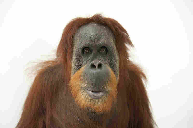 This female Sumatran orangutan was photographed at the Gladys Porter Zoo in Texas.