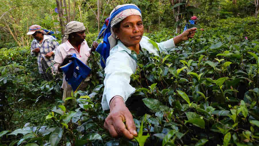 PHOTOS: In Sri Lanka's Tea Paradise, A Social Enterprise Is Brewing