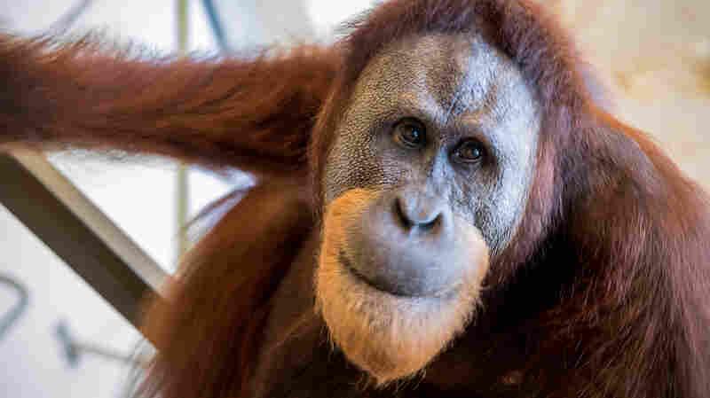 Orangutan's Vocal Feats Hint At Deeper Roots of Human Speech