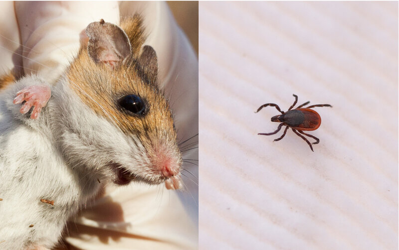 Surge In Mice Is A Harbinger For Lyme Disease : Goats and