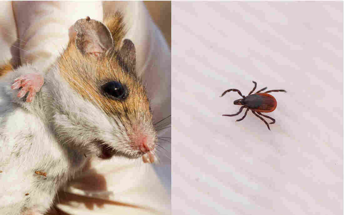 Bad Year for Lyme Disease