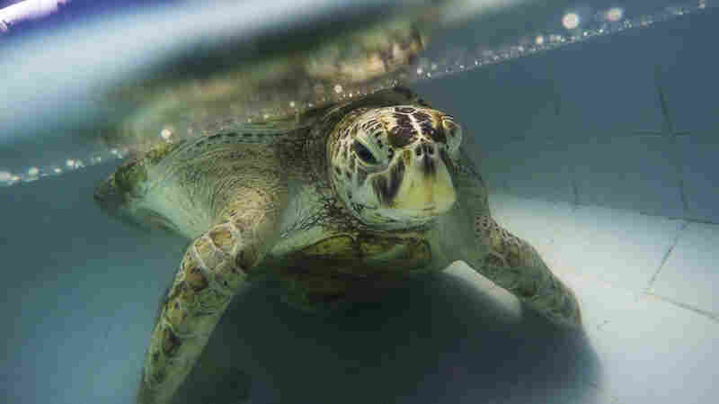 Turtle That Ate Nearly 1,000 Coins Recovering From Surgery In Thailand
